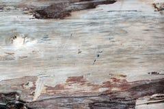 Vecchia struttura morta dell'albero forestale senza corteccia, con molte tracce di crepe del tempo Bloccaggio del primo piano, ut immagini stock