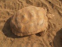 Vecchia tartaruga gigante sulla sabbia Fotografia Stock