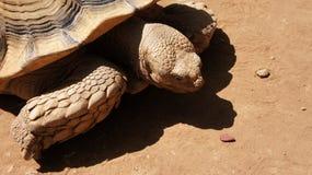 Vecchia tartaruga gigante sulla sabbia Immagine Stock Libera da Diritti
