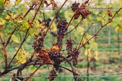 Vecchia uva appassita ad una cantina immagine stock libera da diritti
