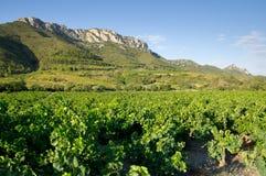 Vecchia vigna a sud della Francia Fotografia Stock