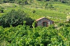 Vecchia vigna a sud della Francia Immagini Stock Libere da Diritti