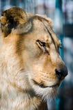 Vecchia vista laterale di fronte di sguardo triste della leonessa immagini stock