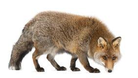 Vecchia volpe rossa, vulpes del Vulpes, 15 anni Fotografia Stock Libera da Diritti