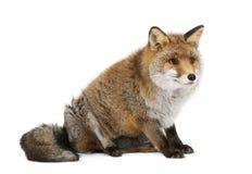 Vecchia volpe rossa, vulpes del Vulpes, 15 anni Fotografie Stock Libere da Diritti