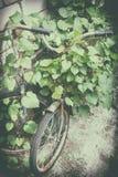 Vecchie biciclette arrugginite con l'ipomoea di bobina Immagini Stock Libere da Diritti