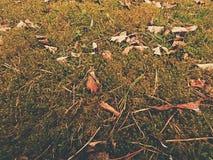 Vecchie foglie di giallo cadute su muschio asciutto Piccole piante asciutte di muschio, aghi asciutti del pino e foglie asciutte  Fotografia Stock Libera da Diritti
