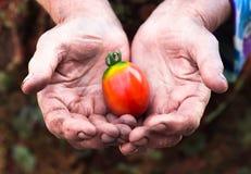 Vecchie mani del lavoro con il pomodoro appena raccolto Fotografie Stock Libere da Diritti