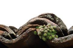 Vecchie mattonelle di tetto con il cactus Immagine Stock