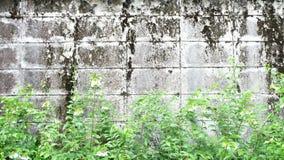 Vecchie pareti con le foglie verdi Fotografie Stock Libere da Diritti