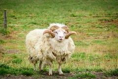 Vecchie pecore in un prato, Islanda Fotografia Stock Libera da Diritti