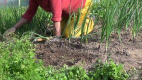 Vecchie piante di cipolla dell'erbaccia della donna dell'agricoltore in giardino vicino alla serra stock footage