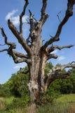 Vecchie quercia ed erba uniche asciutte Immagine Stock