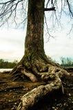 Vecchie radici Fotografia Stock