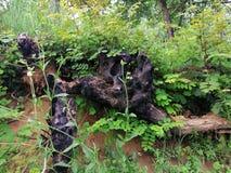 Vecchie radici bruciate dell'albero immagine stock libera da diritti