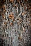 Vecchie radici dell'albero Fotografia Stock