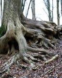 vecchie radici dell'albero fotografie stock libere da diritti