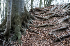 vecchie radici dell'albero immagini stock libere da diritti