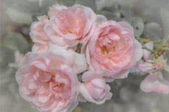 Vecchie rose inglesi pastelli, retro stile Tonificato con il filtro colorato Fuoco molle e vago Fotografie Stock Libere da Diritti