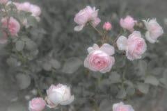 Vecchie rose inglesi, retro stile Tonificato con il filtro pastello da colore ed il rumore morbido per ottenere vecchio effetto d Fotografia Stock Libera da Diritti