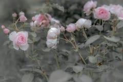 Vecchie rose inglesi, retro stile Tonificato con il filtro pastello da colore ed il rumore morbido per ottenere vecchio effetto d Immagine Stock