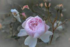 Vecchie rose inglesi, retro stile Tonificato con il filtro pastello da colore ed il rumore morbido per ottenere vecchio effetto d Fotografie Stock