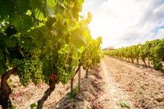 Vecchie vigne con l'uva del vino rosso nella regione del vino dell'Alentejo vicino ad Evora, Portogallo Fotografie Stock