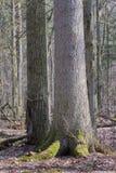 Vecchio abete rosso in priorità alta e vecchia quercia nel fondo Fotografia Stock