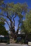 Vecchio albero Immagine Stock Libera da Diritti