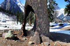 Vecchio albero alla valle della montagna nel Kashmir, India Fotografia Stock Libera da Diritti
