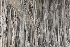 Vecchio albero antico con le radici lunghe che cominciano alla cima dei rami alla terra Immagine Stock