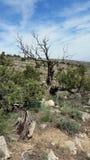 Vecchio albero appassito fra gli alberi viventi nelle montagne Fotografie Stock