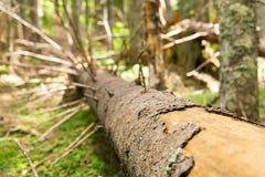 Vecchio albero asciutto Fotografie Stock Libere da Diritti