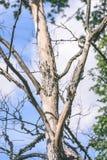 vecchio albero asciutto contro cielo blu - effetto d'annata di colore pastello Immagini Stock