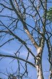 vecchio albero asciutto contro cielo blu - effetto d'annata di colore pastello Fotografia Stock Libera da Diritti