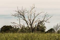 Vecchio albero asciutto sfrondato, stante in mezzo ad un campo, con alcuni uccelli sui suoi rami fotografia stock libera da diritti