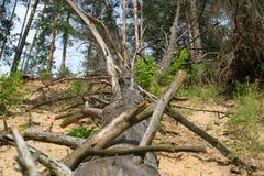 Vecchio albero asciutto solo caduto in fiume Immagini Stock Libere da Diritti