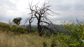 Vecchio albero asciutto sul pendio di collina L'albero è stato ucciso come conseguenza di un colpo di fulmine o da una mancanza d stock footage