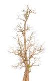 Vecchio albero in autunno senza le foglie Immagini Stock