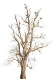 Vecchio albero in autunno senza le foglie Immagini Stock Libere da Diritti