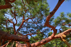 Vecchio albero con i molti ramo stupefacente della rete Fotografie Stock
