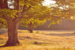 Vecchio albero con i rami ricchi Immagine Stock