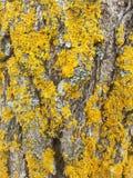 Vecchio albero con il lichene dorato Fotografia Stock Libera da Diritti
