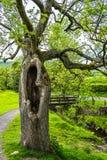 Vecchio albero con la cavità Fotografie Stock Libere da Diritti