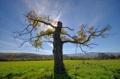 Vecchio albero con una punta rotta del prato Immagini Stock