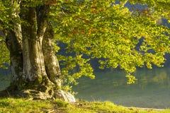 Vecchio albero dal lago Bohinj, Slovenia Fotografie Stock
