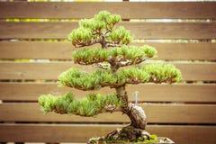Vecchio albero dei bonsai in un vaso di fiore Fotografie Stock Libere da Diritti