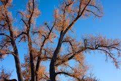 Vecchio albero del Cottonwood contro cielo blu Fotografia Stock