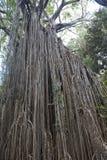 Vecchio albero del ficus nella giungla dell'Australia Fotografia Stock