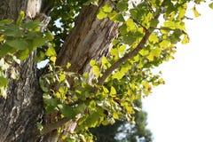 Vecchio albero del Gingko Immagini Stock
